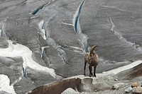 Alpine ibex (Capra ibex) at the Rhone Glacier, Canton Valais, Switzerland, Europe