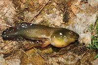 bullfrog, American bullfrog Lithobates catesbeianus, Rana catesbeiana, tadpole, Greece, Creta