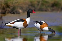 common shelduck Tadorna tadorna, couple, Netherlands, Texel