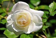 White Rose (Rosa), Mainau Island on Lake Constance, Baden-Wuerttemberg, Germany, Europe