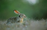 Black-tailed Jackrabbit (Lepus californicus), adult eating, Starr County, Rio Grande Valley, Texas, USA