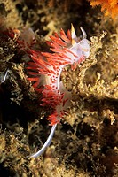 Three-lined Aeolid Flabellina trilineata nudibranch on Santa Cruz Island, California, USA