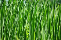 Green reed, background