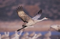 Sandhill Crane (Grus canadensis), adult in flight, Bosque del Apache National Wildlife Refuge, New Mexico, USA