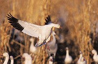 Snow Goose Chen caerulescens, adult in flight, Bosque del Apache National Wildlife Refuge, New Mexico, USA