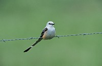 Scissor-tailed Flycatcher (Tyrannus forficatus), female on wire, Choke Canyon State Park, South Texas, USA
