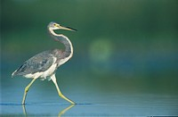 Tricolored Heron (Egretta tricolor), adult walking, Sinton, Coastal Bend, Texas, USA