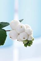 Snow Berry (Symphoricarpos albus)