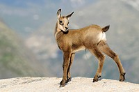 Young chamois (Rupicapra rupicapra) standing on rock slab
