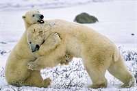 Polar Bears Ursus maritimus playing, hugging, Churchill, Canada