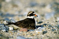 Ringed Plover (Charadrius hiaticula), female brooding on a nest on a beach