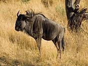 Blue Wildebeest (Connochaetes taurinus), Dan Viljoen National Park, Namibia, Africa