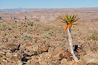 Young Quiver Tree (Aloe dichotoma) at Fish River Canyon, Namibia, Africa