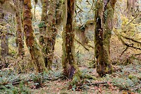 Rainforest vegetation, moss-covered tree trunks and ferns, Hoh Rain Forest, Olympic Peninsula, Washington, USA