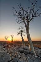Moringa trees Moringa ovalifolia at sunset in Halali, Etosha National Park, Namibia, Africa