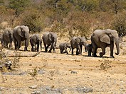 Family of African Bush Elephants (Loxodonta africana) going to the Moringa waterhole in Halali, Etosha National Park, Namibia, Africa