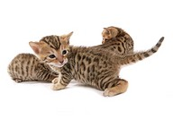 Bengal cat _ kitten _ cut out