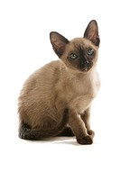 Tonkinese cat _ sitting _ cut out