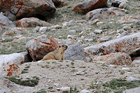 Himalayan Marmot (Marmota himalayana) on 4000m, below the Kardung Pass, Nubra Valley, Ladakh, Himalayas, India, Asia