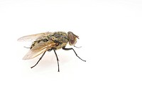 Common Housefly (Musca domestica)