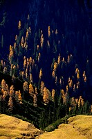 Mountain forest of firs with autumnal larches, Namlos, Lechtal, Reutte, Tyrol, Austria