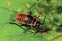 Firebug (Pyrrhocoris apterus), larva