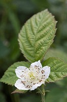 Flower of Raspberry or European Raspberry or Red Raspberry Rubus idaeus