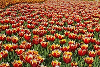 Field of tulips (Tulipa), Landesgartenschau, National Garden Show, Schleswig, Germany