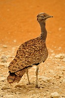 Houbara Bustard Chlamydotis undulata in the Al Ain Zoo, Al Ain, Abu Dhabi, United Arab Emirates, Arabia, the Orient, Middle East