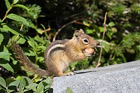Golden_mantled Ground Squirrel Spermophilus lateralis, Mount Rainier Nationalpark, Washington, USA