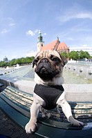 A young pug posing on a park bench in front of the Fountain of Friendship between Peoples in front of the Berlin Television Tower, fisheye shot, Berli...