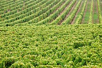 Grape harvest vineyard Blaye Gironde Bordeaux Atlantic Coast Aquitaine France