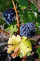 Ripe, wine, grapes, in, vineyard, Medoc, Bordeaux, Aquitaine, France, Europe, vines, agriculture, travel, tourist, destination