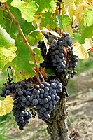Ripe wine grapes in vineyard Bordeaux vineyard town St Emilion Aquitaine France