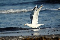 Herring Gull Larus argentatus, taking off from seashore, Texel, Holland