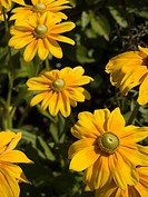 Yellow flower, 'Prairie Sun Rudbeckia' variety