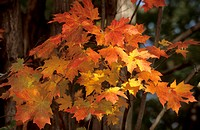 Fall colored leaves of a maple tree