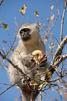 Vervet monkey (Cercopithecus aethiops) in the Krugerpark, South Africa