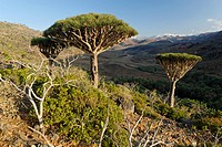 Dragon´s Blood Tree on Socotra island, UNESCO World Heritage Site, Yemen