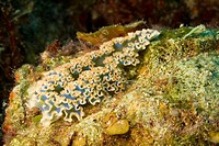 Blue nudibranch, Coral Reef, Playa Girón, Cuba