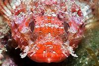 Lesser Red Scorpianfish, Scorpaena notata, Tamariu, Costa Brava, Mediterranean Sea, Spain