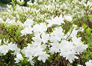 White azaleas, Tochigi Prefecture, Japan