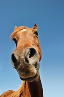 Brown horse against clear sky low angle view close-up of snout (thumbnail)