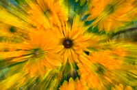 Motion blur of yellow flowers