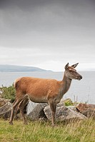Deer on Isle of Arran, Scotland