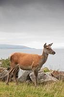Deer on Isle of Arran, Scotland