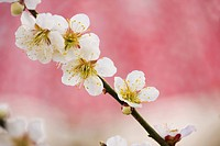 White plum tree blossoms