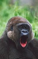 Western gorilla yawning, Africa