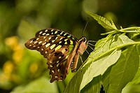 Tailed Jay butterfly Graphium agamemnon perching on a leaf