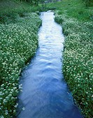 Watercress growing beside stream, Chitose, Hokkaido, Japan